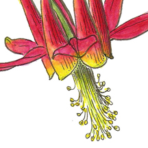 Detail of Vorobik watercolor of Aquilegia formosa, red columbine