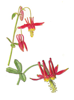 Vorobik painting of red columbine