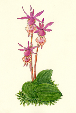Calypso bulbosa watercolor by Vorobik