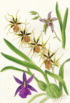 Medley of 3 Oncidiinae orchids