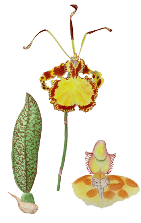 Butterfly orchid cultivar