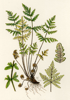 Pentagramma triangularis copyright Vorobik