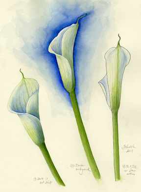 Calla Lily watercolor study of how to paint white flowers